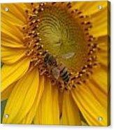 Honey Bee Close Up On Edge Of Sunfower...  # Acrylic Print