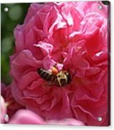 Honey Bee Collecting Pollen On A Pink Rose Acrylic Print
