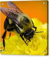 Honey Bee Acrylic Print