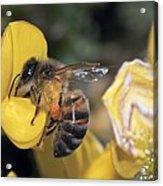 Honey Bee Feeding Acrylic Print