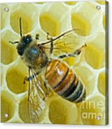 Honey Bee In Hive Acrylic Print