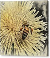 Honey Bee Meets Dandy Lion Acrylic Print