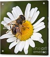 Honey Bee On Daisy Acrylic Print