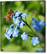 Honey Bee On Forget-me-not Flowers Acrylic Print