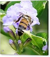 Honey Bee On Lavender Flower Acrylic Print