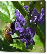 Honey Bee On Purple Flower Acrylic Print