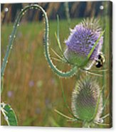 Honey Bee Picks Up Pollen Acrylic Print