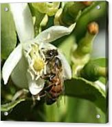 Honey Bee Pollinating Orange Blossom Acrylic Print