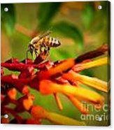 Honey Bee Profile Acrylic Print