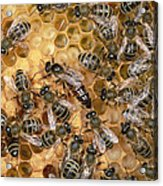 Honey Bee Queen And Colony On Honeycomb Acrylic Print