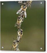 Honey Bees Join To Repair Honeycomb Acrylic Print