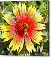 Honey Bees On Flower Acrylic Print