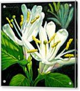 Honey Suckle Blossoms Acrylic Print