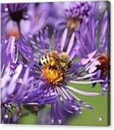 Honeybee And Aster Acrylic Print