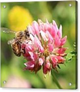 Honeybee And Clover Acrylic Print