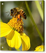 Honeybee Feasting On Nectar Of Yellow Flower Acrylic Print