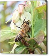 Honeybee In Blueberry Blossoms Acrylic Print