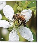 Honeybee On A Blackberry Blossom Acrylic Print