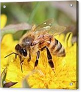 Honeybee On A Dandelion Acrylic Print
