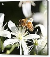 Honeybee On Clematis Acrylic Print