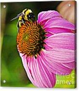 Honeybee On Echinacea Flower Acrylic Print