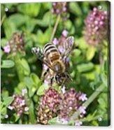 Honeybee On Heal All Acrylic Print
