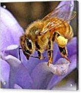 Honeybee On Hyacinth Acrylic Print