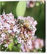 Honeybee On Oregano Acrylic Print