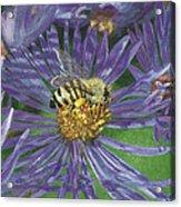 Honeybee On Purple Aster Acrylic Print