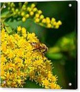 Honeybee On Yellow Acrylic Print
