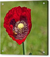 Honeybee Pollinating An Oriental Red Poppy Flower Acrylic Print