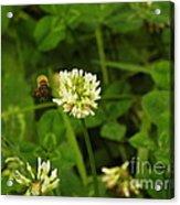 Honeybee Visit Acrylic Print