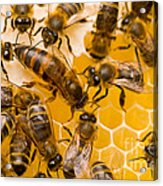 Honeybee Workers And Queen Acrylic Print