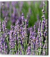 Honeybees On Lavender Flowers Acrylic Print