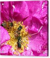 Honeybees On Pink Rose Acrylic Print