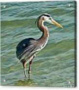 Honeymoon Island Heron Acrylic Print