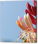 Honeysuckle And Sky Acrylic Print