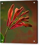 Honeysuckle Blooms Unopened 1 Acrylic Print