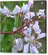 Honeysuckle Blossoms 2 Acrylic Print