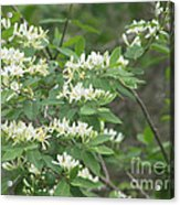 Honeysuckle Blossoms Acrylic Print