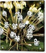 Honeysuckle White Acrylic Print
