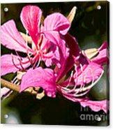Hong Kong Orchid Tree Flower Blooms Acrylic Print