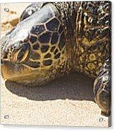 Honu - Hawaiian Sea Turtle Hookipa Beach Maui Hawaii Acrylic Print
