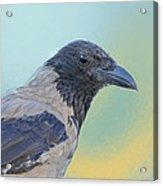 Hooded Crow Acrylic Print