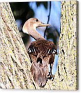 Hooded Merganser Duck Acrylic Print