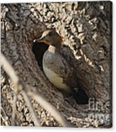 Hooded Merganser Getting Ready To Fly Acrylic Print