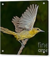 Hooded Oriole Hen At Take Acrylic Print