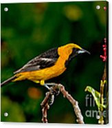 Hooded Oriole Male Acrylic Print