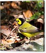 Hooded Warbler - Img_9349-001 Acrylic Print