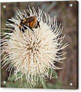 Hooker's Thistle With Bumblebee Acrylic Print